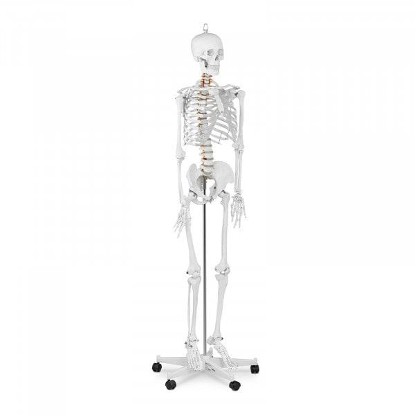 Model szkieletu człowieka - 176 cm