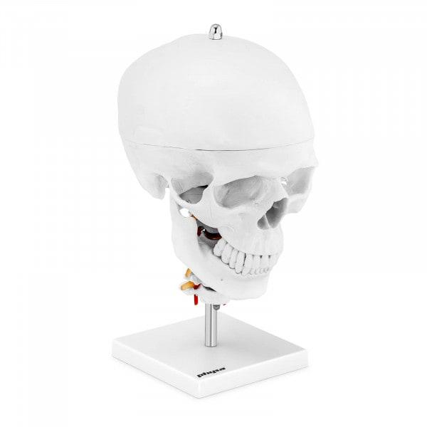 Czaszka człowieka - mózg - model anatomiczny